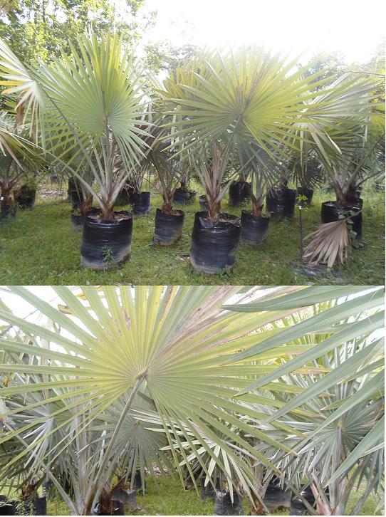 Vivero ornamentales de colombia amarillas de colombia for Viveros ornamentales